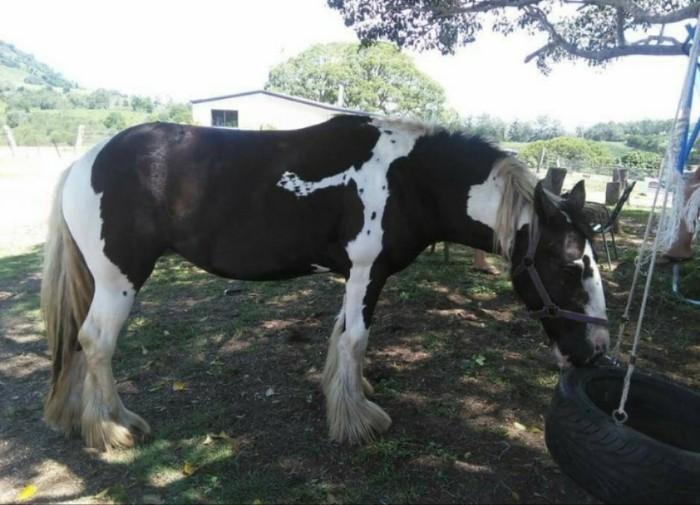 Gypsy Cob Mare unregistered 4yo