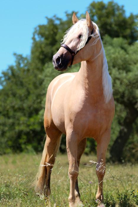 BEAUTIFUL IMP PRE PALOMINO STALLION
