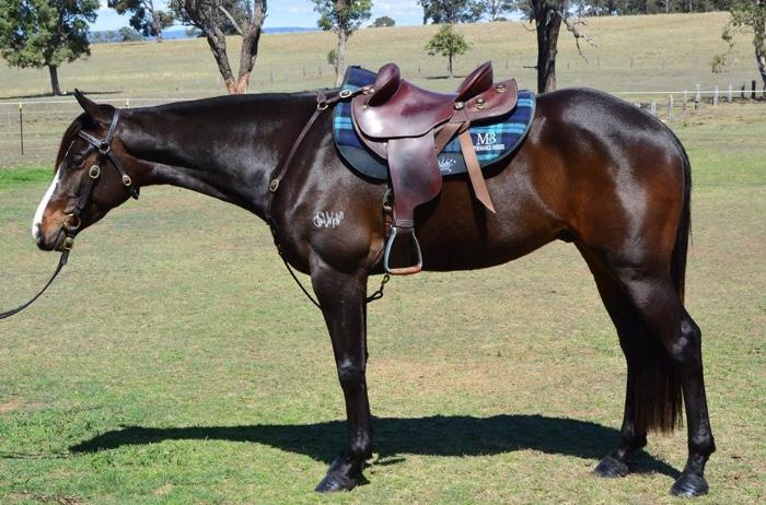 Eye Catching Brown ASH Gelding