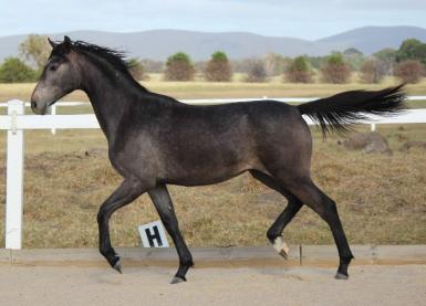Lace as a yearling