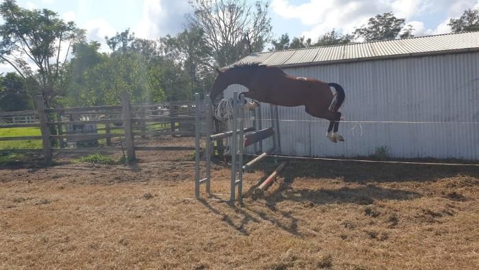 WARREGO SOOKIE - 6yo Warmblood Mare
