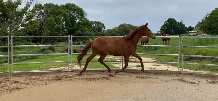 2yo Morricone x Royal Hit gelding