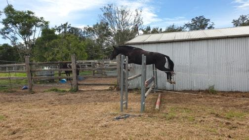 WARREGO SIERRA - 4yo Warmblood Mare