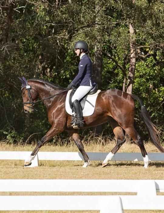 Talented & Competitive Warmblood by Gymnstik Star