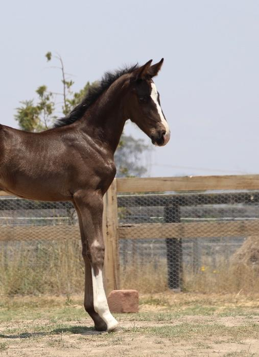 Dark President x Don Schufro Warmblood Filly