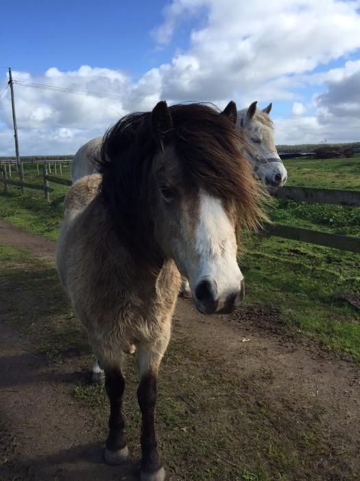 Registered welsh mountain pony broodmare