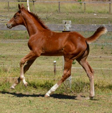 Wimborne Confederate x Escudo 1 filly