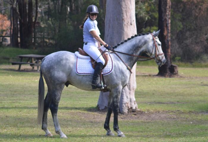 Performance Dressage/ Show Grey Gelding