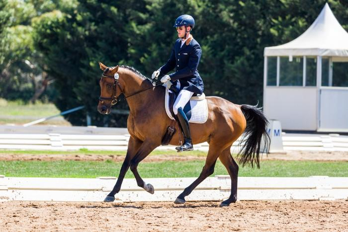 Elegant Performance Warmblood