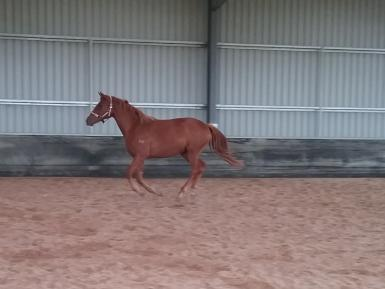 Fairview Nobility Canter crop.jpg