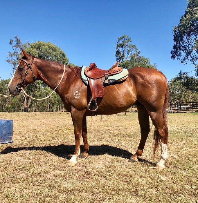 Fantastic trail or sporting mount - QH GELDING