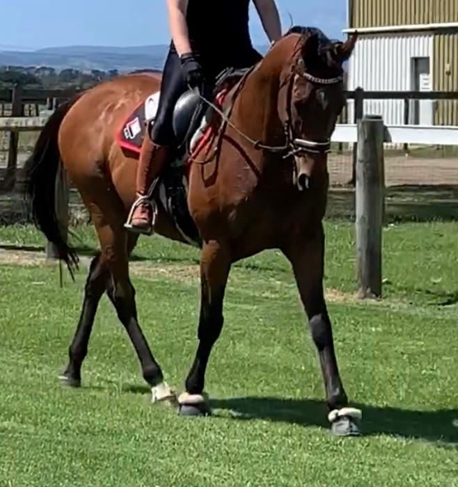 Talented and Sensible PINS Gelding