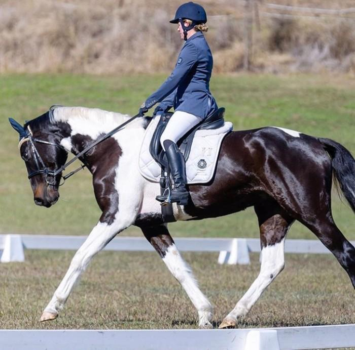Stunning Warmblood Performance Gelding