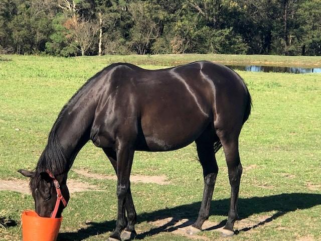 Beautiful TB Broodmare or Trail Riding